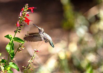 Hummingbird In-Flight With Red Wildflower