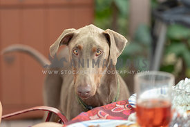 A doberman looking at the food on a table