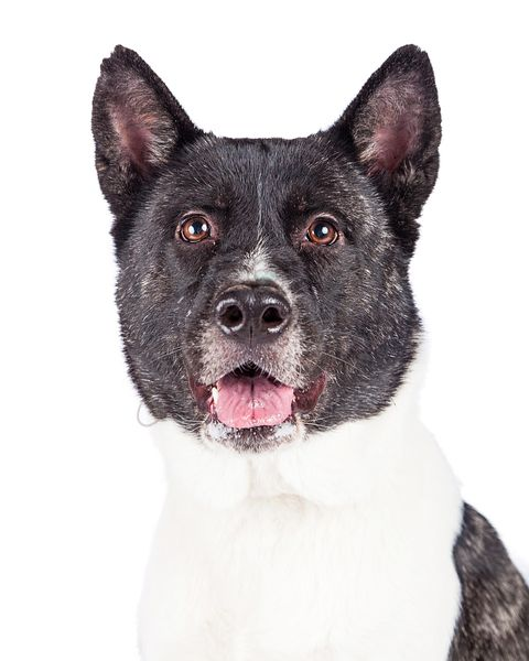 Black Mask Akita Over White Background