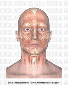 Visage frontal de muscles faciaux