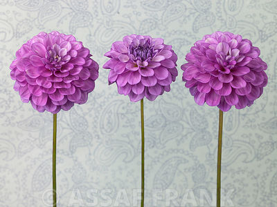 Dahlia Flowers on textured background