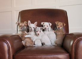Puppy cuddle train on brown leather chair in studio