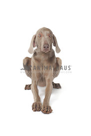 frightened weimaraner against white background