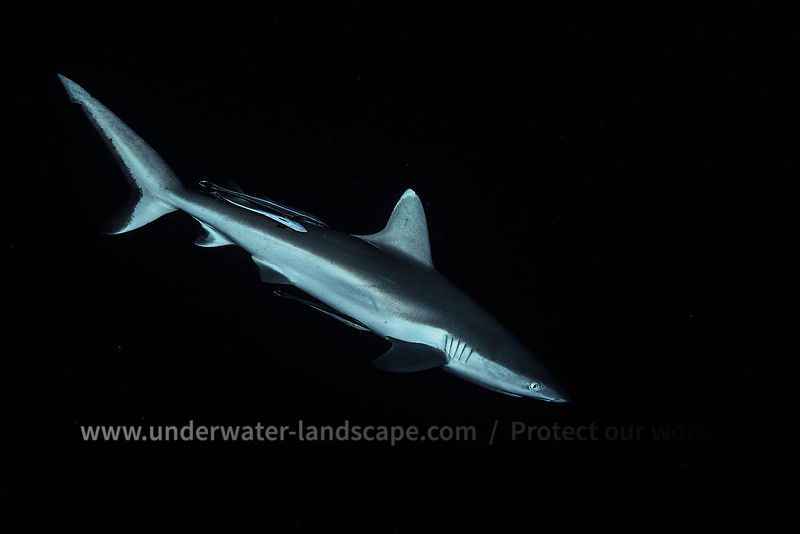Gray reef shark - Underwater photography