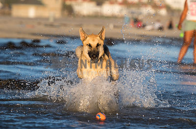 Germand shepherd dog splashing through water towards a ball