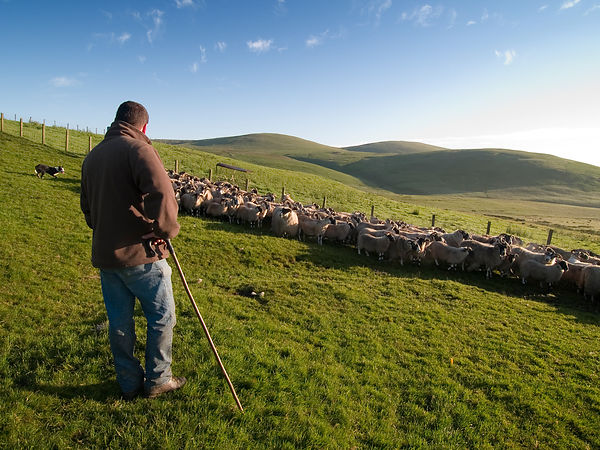 A shepherd tends his flock of sheep.