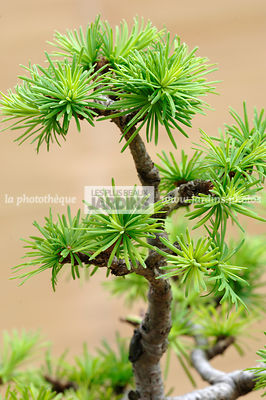 Larix kaempferi (Mélèze du Japon). Bonsaï. Collection Jean-Louis Mandolin