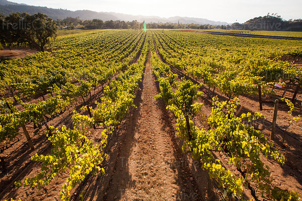 add to stock, agriculture, California, Calistoga, landscape, Napa Valley, rolling hills, stock, summer, trellised vines, vall...