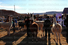 Backlit view of llamas and their owners during competition, Curahuara de Carangas, Bolivia