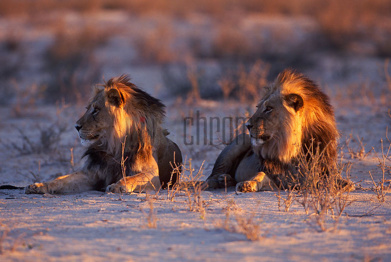 Pair of Lions at Sunset