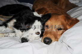Border Collie and Golden Retriever cuddling on the bed