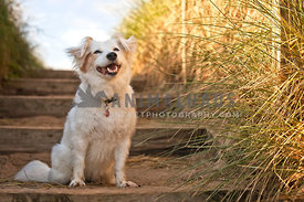 happy dog sitting on wooden steps leading down to beach