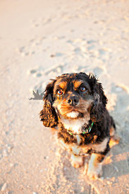 cavalier king charles sitting on the beach