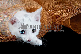 Playful White Kitten Peeks out of Bronze Ribbon