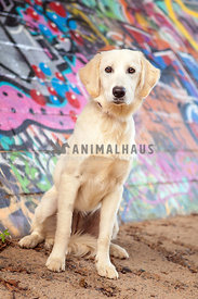 Golden Retriever puppy mix with floppy ears in front of colorful graffiti wall