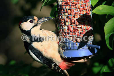 Male Great Spotted Woodpecker (Dendrocopos major) on a garden peanut feeder, Cumbria, England