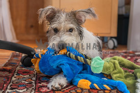 Terrier puppy with all the toys in home office