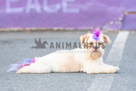 shih tzu with rainbow colored mohawk lying down on pavement