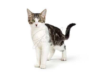 White and Tabby domestic Shorthair Cat