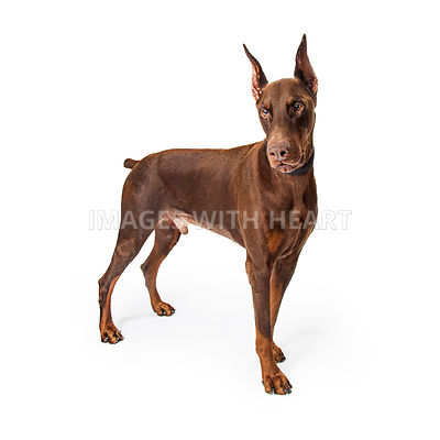 Large Red Doberman Dog Standing Profile