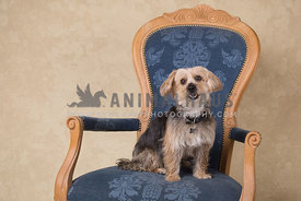Yorkshire Terrier posing on antique blue chair studio