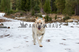 Happy Yellow Lab running in snow
