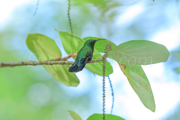 Hummingbird in Martinique