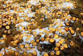 Potatoes in snow on the ground freeze drying and turning into chuño , Bolivia