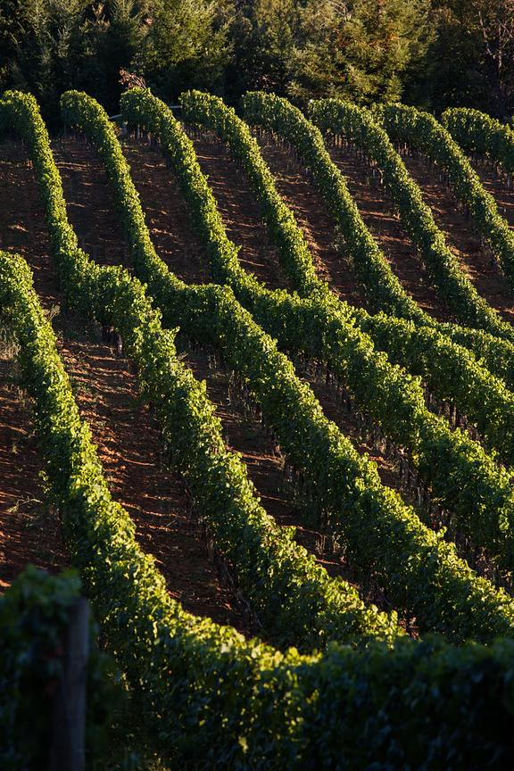 Rows of green grape vines creating a pattern on the hills