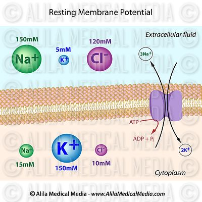 Ionic distribution at resting membrane potential