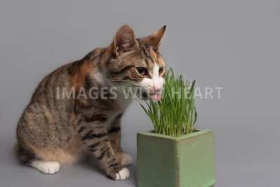 Tabby cat eating catnip with tongue out