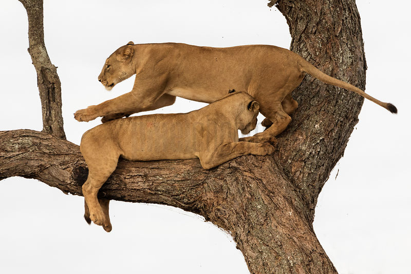 A Lioness Passes a Pride Member as she Climbs onto an Acacia Tree
