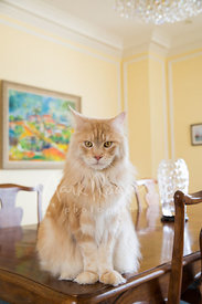 Orange colored Maine Coon Cat Sitting on Table