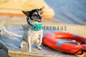 Small senior terrier dog sits on a boat at the lake