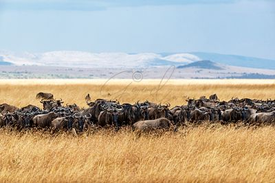 Herd of Wildebeest in Tall Kenya Grass