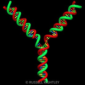 DNA Replication Fork #8