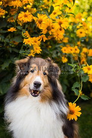 senior sheltie with yellow daisies