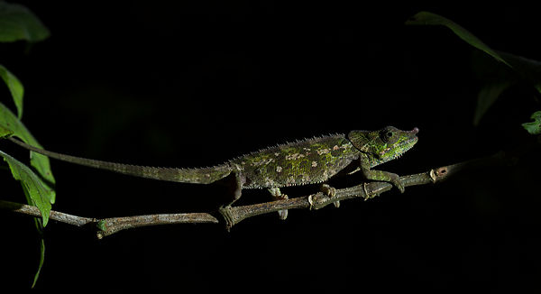 An O'Shaughnessy's Chameleon seen on the roadside at Ranomafana