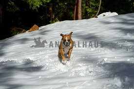 Boxer dog running up hill in snow