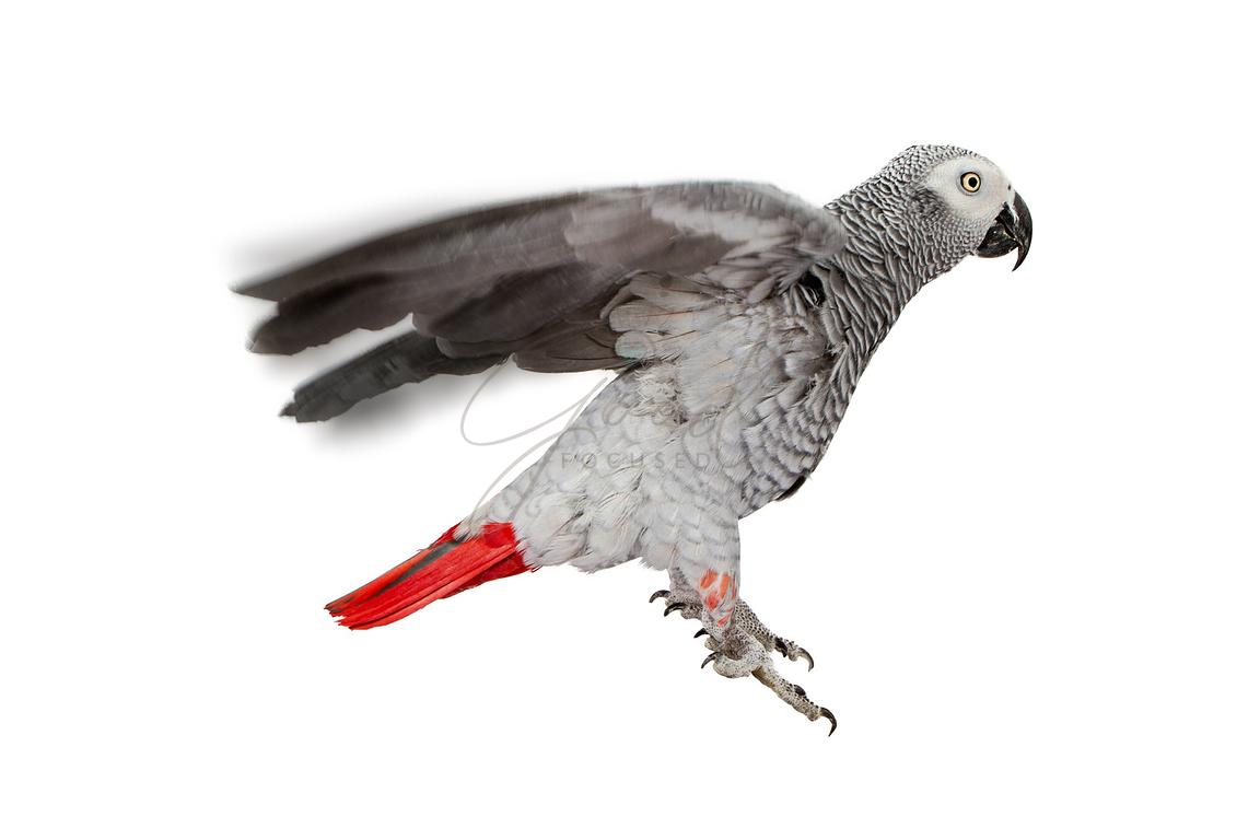 Parrot Flying in Air on White