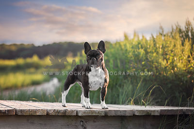 Brindle French Bulldog Standing on Dock at the beach
