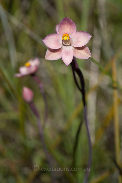 Thelymitra rubra, or Salmon Sun Orchid