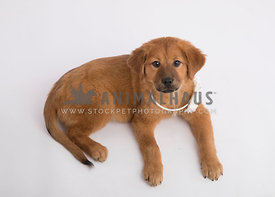 Fuzzy puppy with white flower collar looking up from white background