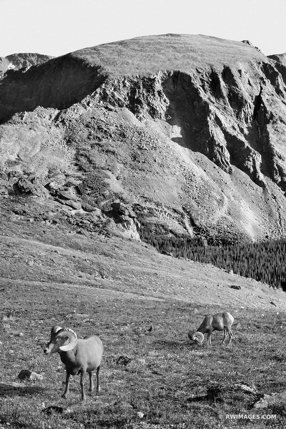 BIGHORN SHEEP HIGH TUNDRA ROCKY MOUNTAIN NATIONAL PARK COLORADO BLACK AND WHITE