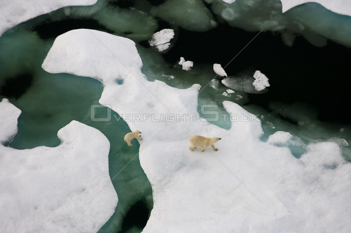 Polar bear (Ursus maritimus) sow with cub walking on multi-layer ice (freshwater pans formed over the years where the salt is...