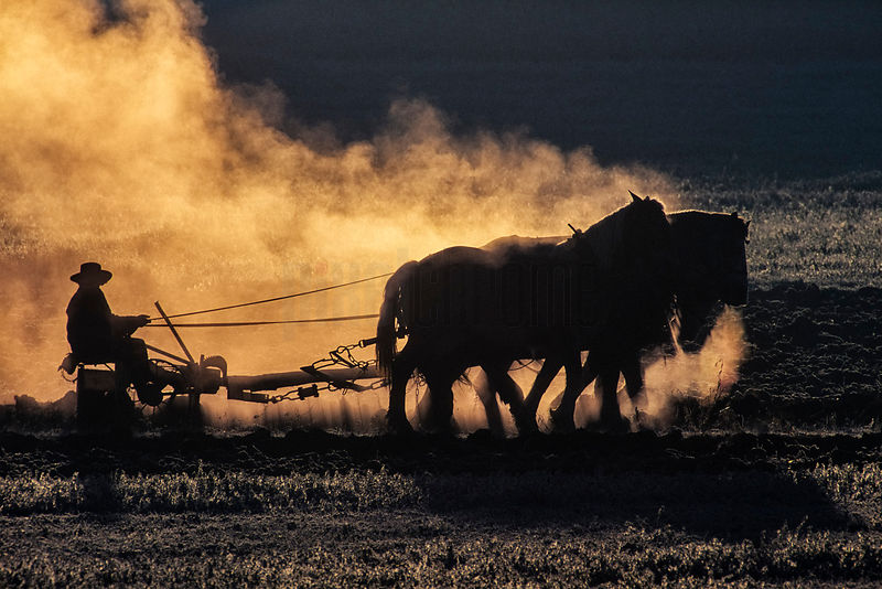 Draught Horses Pulling a Plough on a Cold day