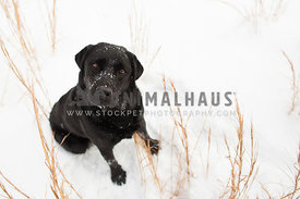 black lab sitting looking up at camera in the snow