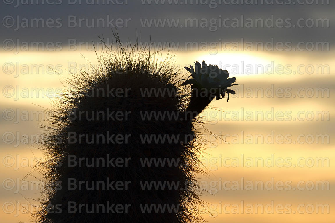 Echinopsis atacamensis (pasacana subspecies) cactus in flower at sunset, Bolivia