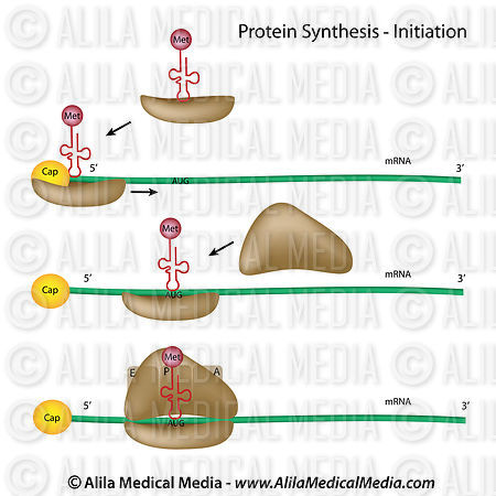 Protein synthesis initiation (eukaryote)
