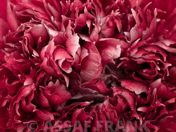 Extreme close-up of red peony flower